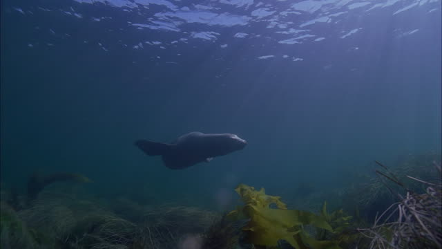 SLO MO WS Underwater shot of Sea Lion swimming in sea / Moorea, Tahiti, French Polynesia