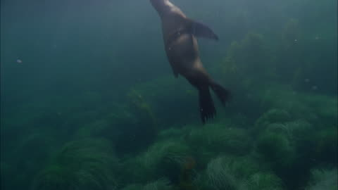 stockvideo's en b-roll-footage met slo mo ws underwater shot of sea lion swimming in sea / moorea, tahiti, french polynesia - sea grass plant