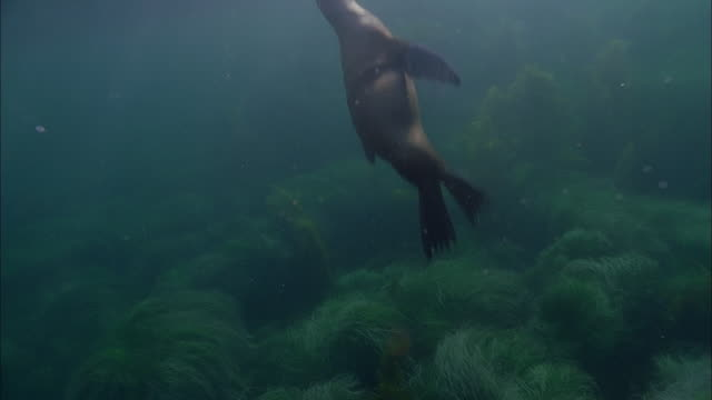 slo mo ws underwater shot of sea lion swimming in sea / moorea, tahiti, french polynesia - sea grass plant video stock e b–roll