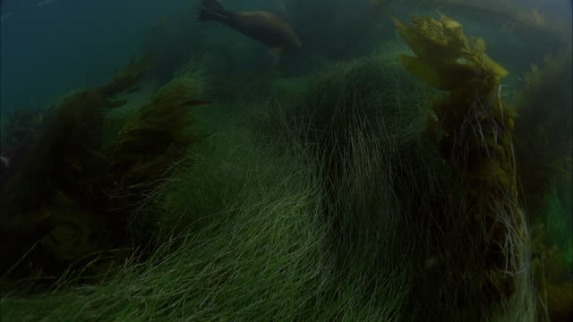 slo mo ws underwater shot of sea lion swimming in sea / moorea, tahiti, french polynesia - sea grass plant点の映像素材/bロール