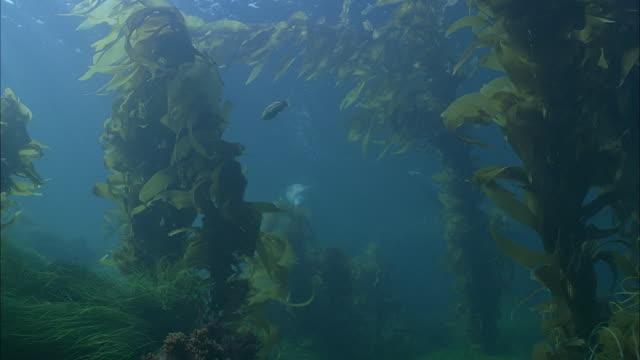 SLO MO WS Underwater shot of Sea Lions swimming between sea plants / Moorea, Tahiti, French Polynesia