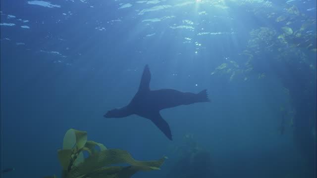 slo mo ws underwater shot of sea lions swimming between sea plants / moorea, tahiti, french polynesia - アザラシ点の映像素材/bロール