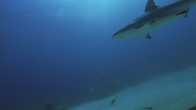 slo mo ws underwater shot of shark swimming in sea / moorea, tahiti, french polynesia - insel moorea stock-videos und b-roll-filmmaterial