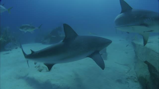 vidéos et rushes de slo mo ws underwater shot of sharks swimming in sea / moorea, tahiti, french polynesia - moorea