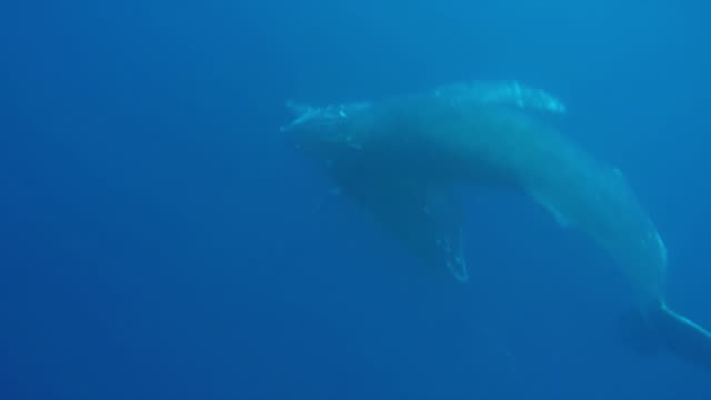Underwater shot of singing by a pair of Humpback whales