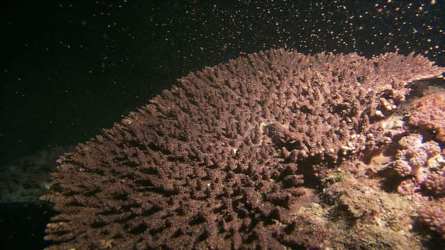 underwater shot of spawning by a species of small-poly stony coral (genus acropora). - coral stock videos & royalty-free footage