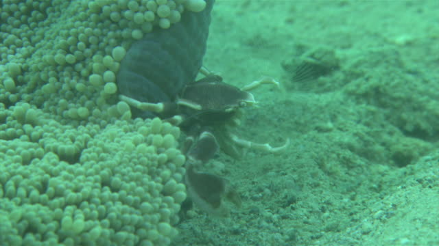 Underwater shot of Spotted porcelain crab waving about its rakelike setae in order to catch the plankton on which it feeds