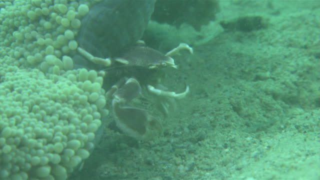 underwater shot of spotted porcelain crab waving about its rakelike setae in order to catch the plankton on which it feeds - crustacean stock videos & royalty-free footage