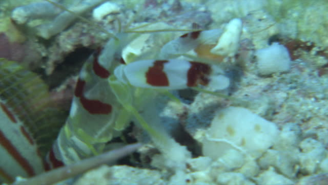 underwater shot of symbiotic relationship between the red-banded snapping shrimp and orange-striped shrimpgobies . the former is ejecting pebbles... - symbiotic relationship stock videos & royalty-free footage