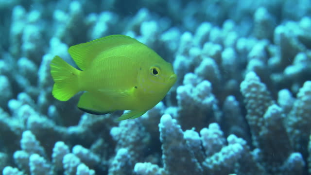 underwater shot of the dazzling and bright yellow-colored lemon damselfish . - sea anemone stock videos & royalty-free footage