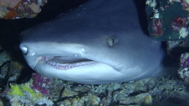 Underwater shot of the nocturnal seldom aggressive Whitetip reef shark