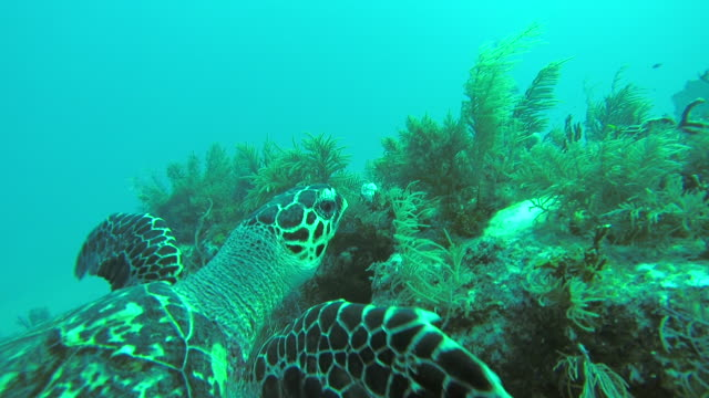 Underwater POV shot of turtle swimming in Caribbean Sea
