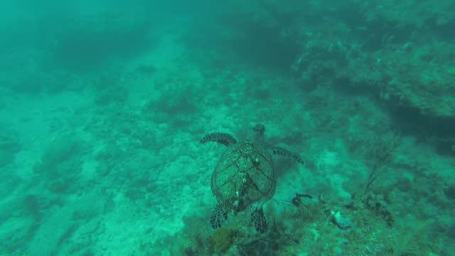 カリブの海で泳ぐカメの水中のpov - 水棲ガメ点の映像素材/bロール