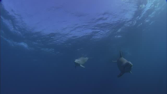 SLO MO WS PAN Underwater shot of two dolphins swim toward camera and turn back around / Moorea, Tahiti, French Polynesia