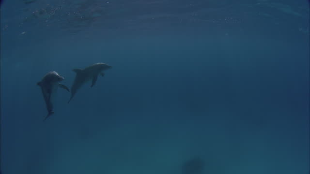 SLO MO WS Underwater shot of two dolphins swimming in sea / Moorea, Tahiti, French Polynesia
