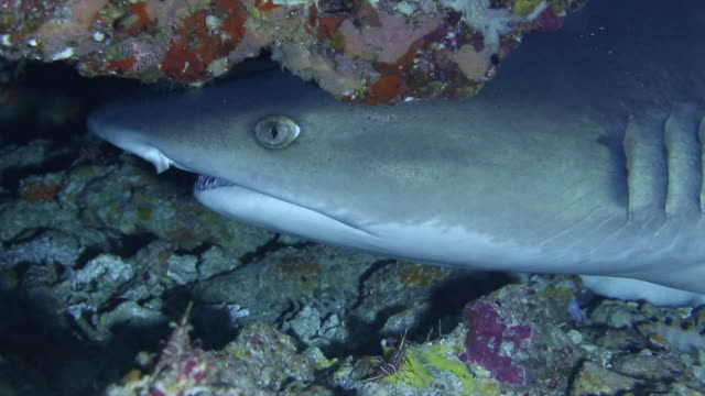 underwater shot of whitetip reef shark and bright white and red colored banded coral shrimps . - whitetip reef shark stock videos & royalty-free footage
