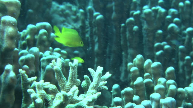 Underwater shot of yellowcolored juvenile Pearlspot chromis Chromis notata) amid a reef