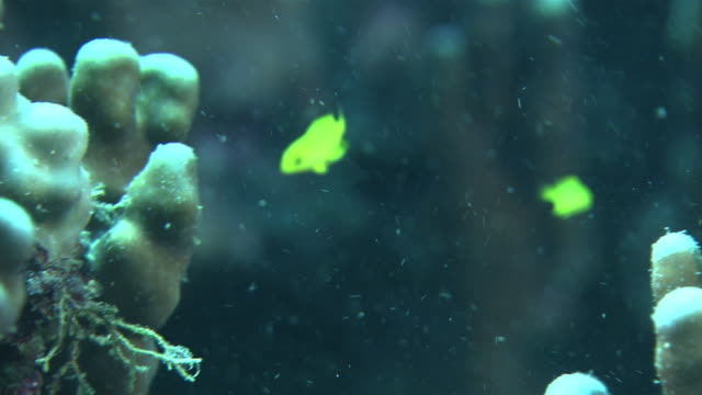 Underwater shot of yellowcolored juvenile Pearlspot chromis swimming around a reef