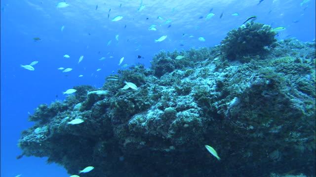underwater shot off kikai island,kagoshima,japan - snapper fish stock videos & royalty-free footage