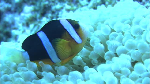 vídeos de stock, filmes e b-roll de underwater shot off kikai island,kagoshima,japan - relação simbiótica