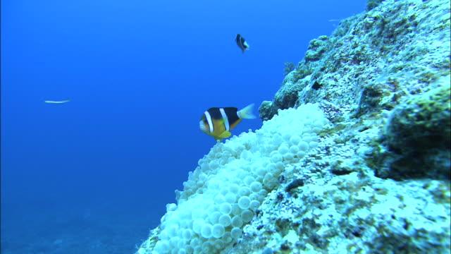 underwater shot off kikai island,kagoshima,japan - symbiotic relationship stock videos & royalty-free footage