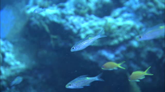 vídeos y material grabado en eventos de stock de underwater shot off kikai island,kagoshima,japan - hermafrodita
