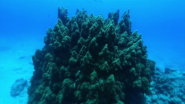 Underwater shot pan up of the Palace Reef a reef of stony coral