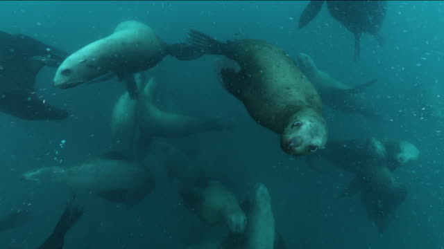 underwater shot: sea lions flock to a tiny island, hokkaido, japan. - sea lion stock videos & royalty-free footage