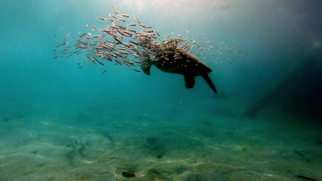 Underwater shot sea turtle with school of small fish.