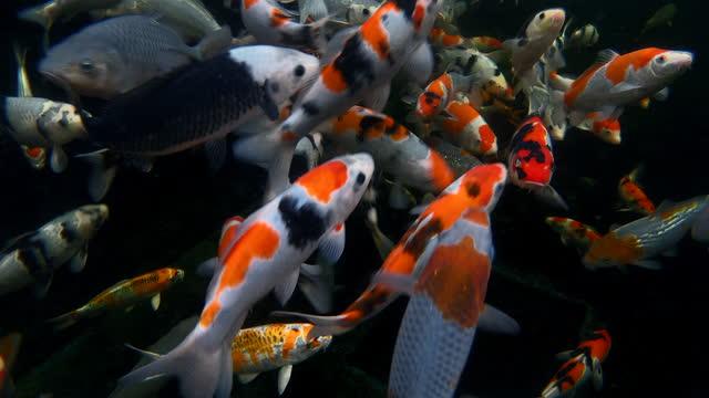 underwater shot showing a school of koi carp, england, united kingdom - aquatic organism stock videos & royalty-free footage
