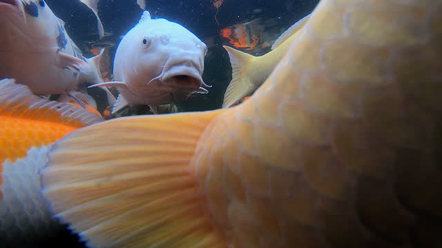 vidéos et rushes de underwater shot showing koi carp close up, oxfordshire, england, united kingdom - oxford england