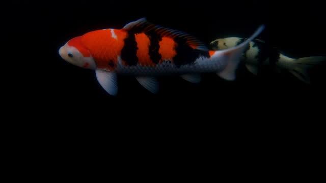underwater shot showing koi carp swimming in a fish tank, united kingdom - aquatic organism stock videos & royalty-free footage