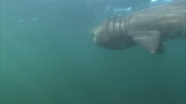 vídeos y material grabado en eventos de stock de underwater shot under a feeding basking shark, cetorhinus maximus. - peregrino