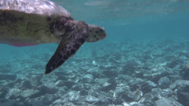 underwater shot, woman snorkeling next to a sea turtle - 40 o più secondi video stock e b–roll