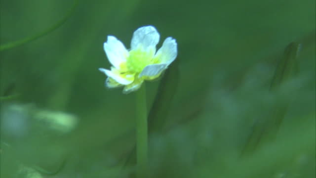 underwater shots: close-up shot of a single white-colored bloom of ranunculus yesoensis - water plant stock videos and b-roll footage