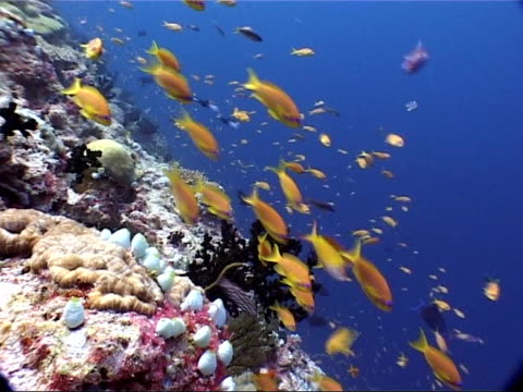 underwater shots fish and coral orange anthias and red tooth trigger fish swimming around healthy reef track past blue and white coloured reef... - trigger stock videos & royalty-free footage
