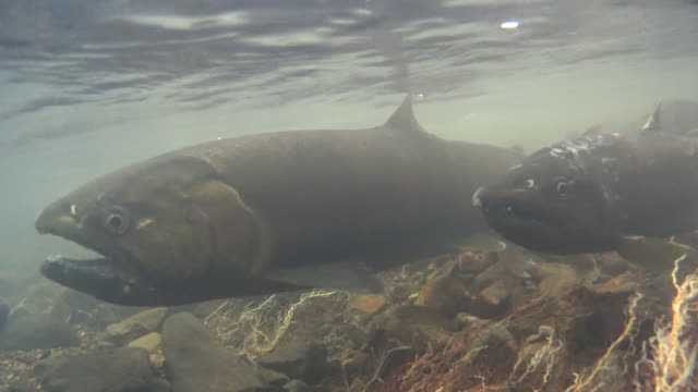 Underwater shots:Male and female cherry salmon, Oncorhynchus masou in the Shojin River
