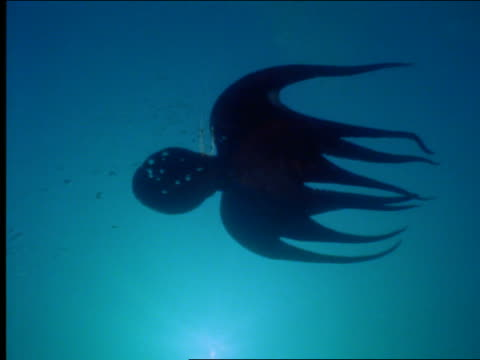 underwater silhouette of octopus swimming in ocean