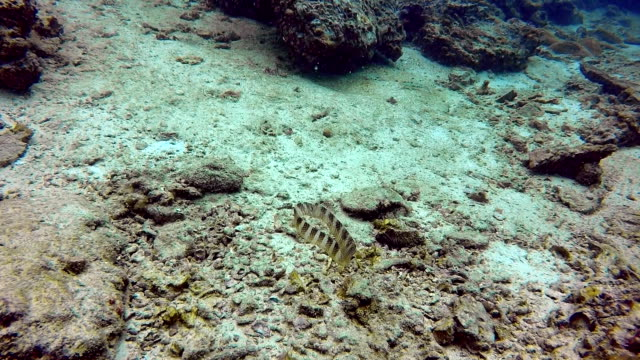 Underwater skin of Banded Sea Krait Snake (Laticauda colubrina)