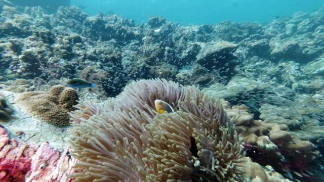 壮大な海アネモネ(ヘテラクティス・マグニフィカ)の水中スカンクアネモネフィッシュクラウンフィッシュ(アンフィプリオンエフィフィウム) - グラスフィッシュ点の映像素材/bロール