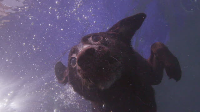 underwater slomo td cu labrador dog dives at lens underwater - undersea stock videos & royalty-free footage