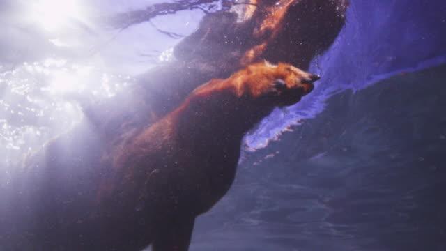 underwater slomo la ms rottweiler dog swims over camera - blue dog stock videos & royalty-free footage