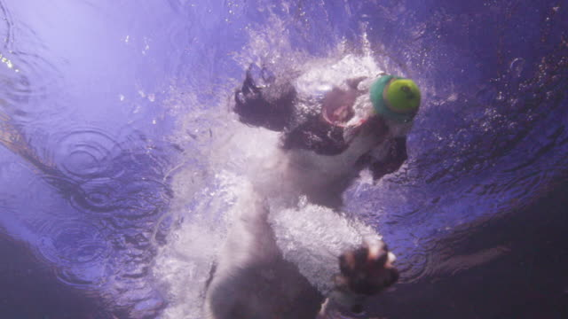 underwater slomo la ms spaniel dog jumps into water to catch ball - blue dog stock videos & royalty-free footage
