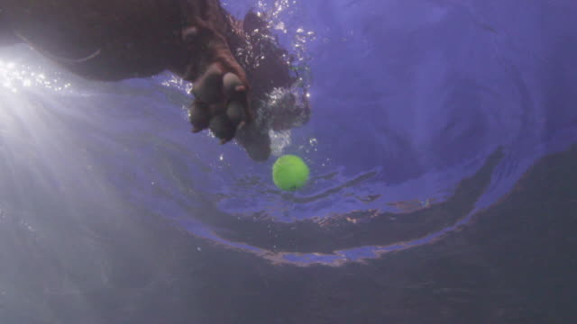 underwater slomo la ms staffordshire terrier dog swims from camera and grabs ball - nutztier oder haustier stock-videos und b-roll-filmmaterial