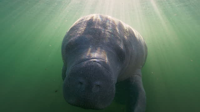 underwater, slow motion, a large sunlit manatee swims in crystal river, fl, usa - lamantino video stock e b–roll