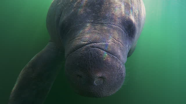 underwater, slow motion, a playful manatee in murky waters of crystal river, fl, usa - manatee stock videos & royalty-free footage
