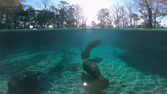 underwater, slow motion, manatees in crystal river, fl, usa - lamantino video stock e b–roll