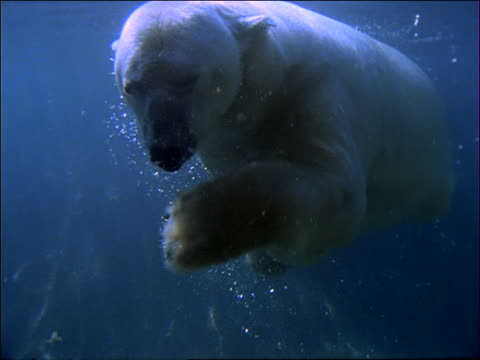 underwater slow motion polar bear swimming