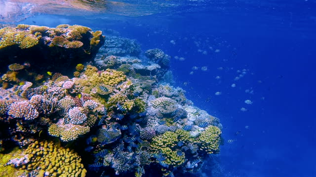 Underwater snorkeling on Coral reef with lot of tropical Fish / Red Sea