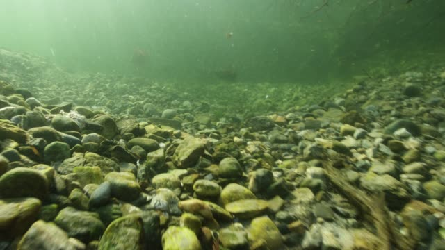 underwater pov, sockeye salmon in murky river - süßwasser stock-videos und b-roll-filmmaterial